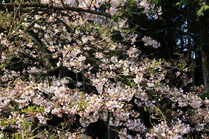 2010阿里山櫻花季 (03)