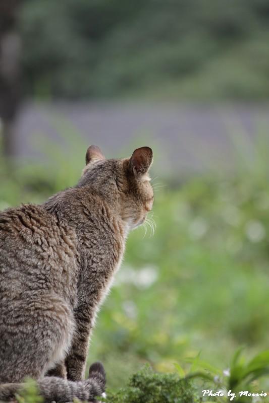 金瓜石的貓兒們 (24)