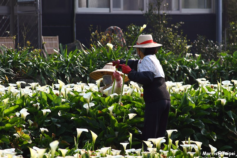 竹子湖海芋節 (38)