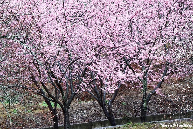 武陵農場粉紅櫻花季 (15)