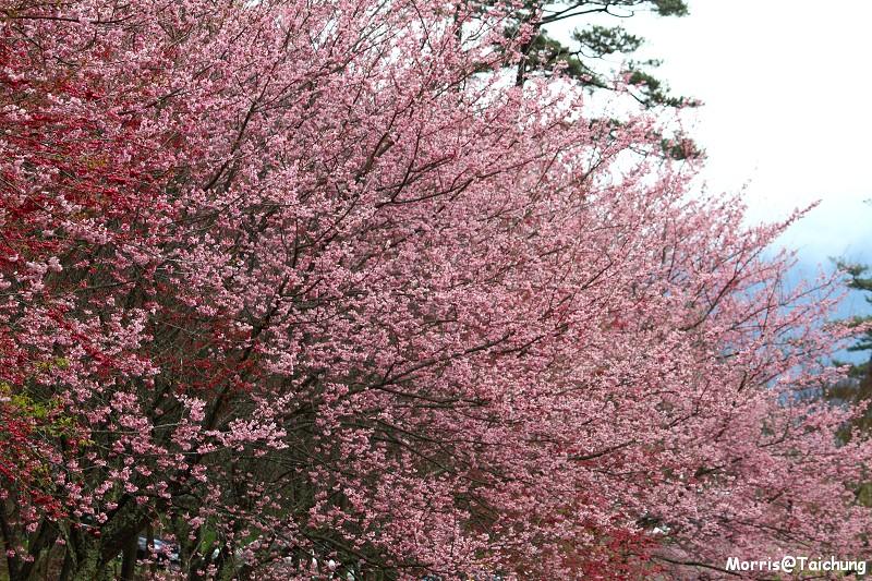 武陵農場粉紅櫻花季 (80)