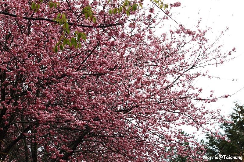 武陵農場粉紅櫻花季 (46)