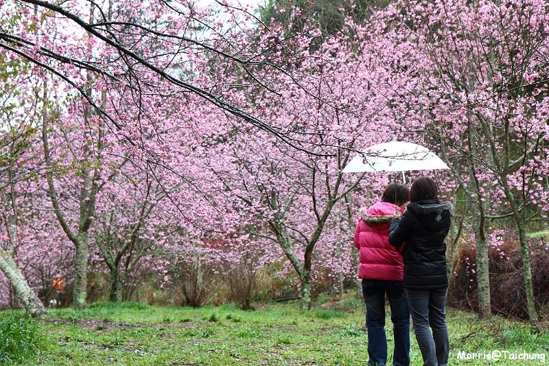 武陵農場粉紅櫻花季 (31)