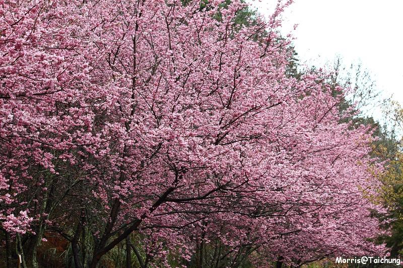 武陵農場粉紅櫻花季 (64)