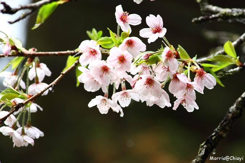 2011 阿里山櫻花季 (152)