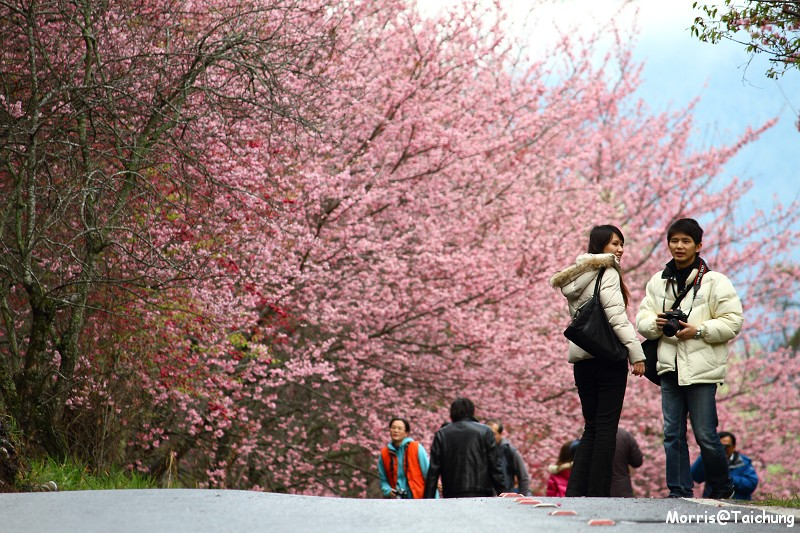 武陵農場粉紅櫻花季 (88)
