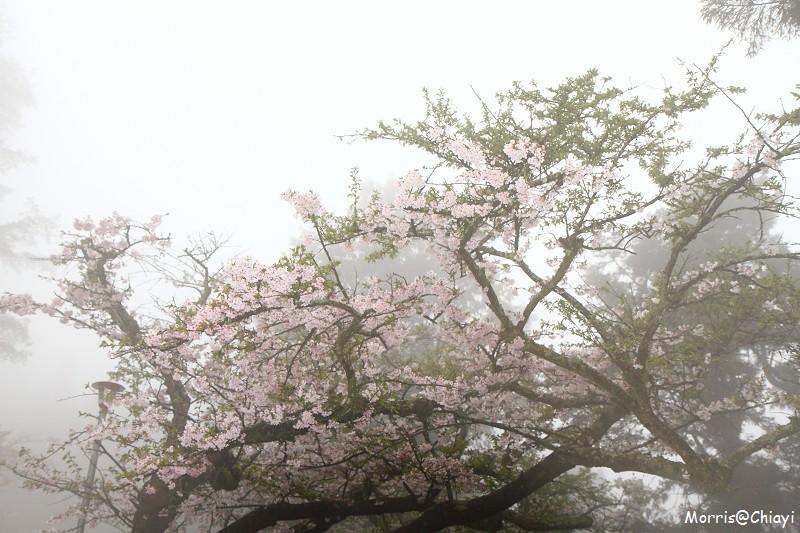 2011 阿里山櫻花季 (42)