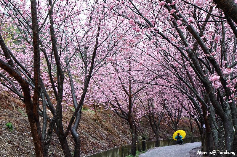 武陵農場粉紅櫻花季 (7)