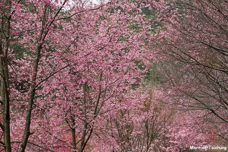 武陵農場粉紅櫻花季 (103)