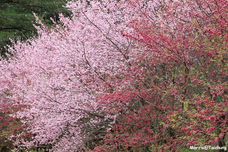 武陵農場粉紅櫻花季 (90)