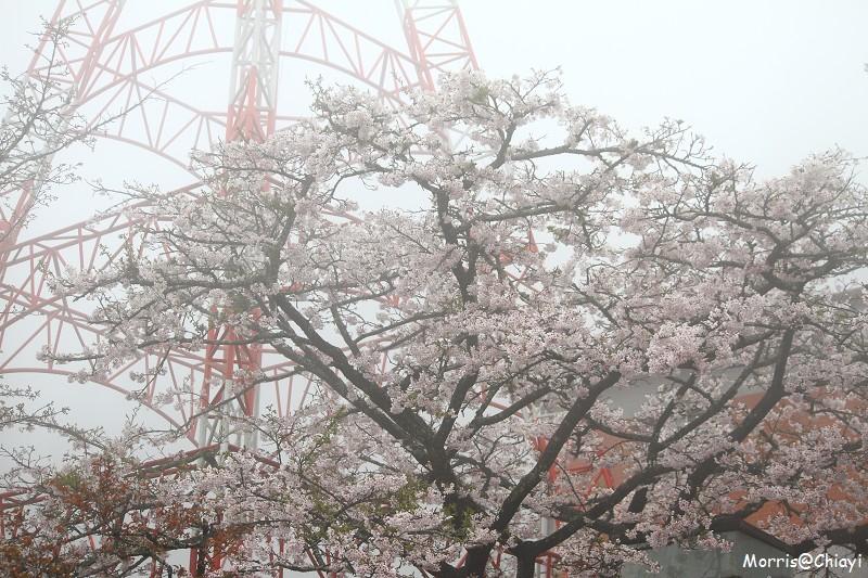 2011 阿里山櫻花季 (135)