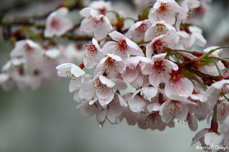 2011 阿里山櫻花季 (45)