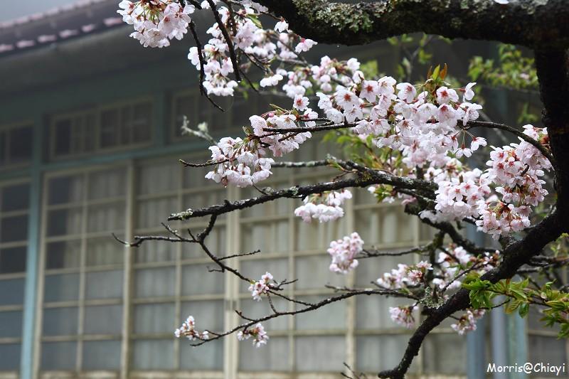 2011 阿里山櫻花季 (79)