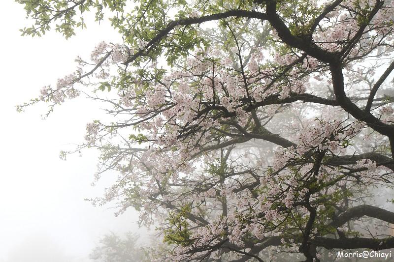 2011 阿里山櫻花季 (61)