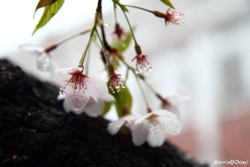 2011 阿里山櫻花季 (50)