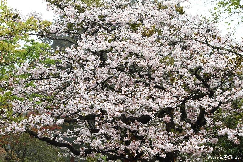 2011 阿里山櫻花季 (146)