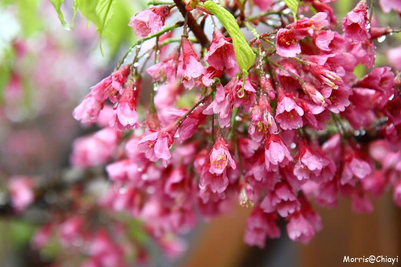 2011 阿里山櫻花季 (24)