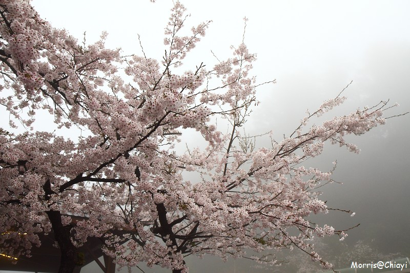2011 阿里山櫻花季 (16)