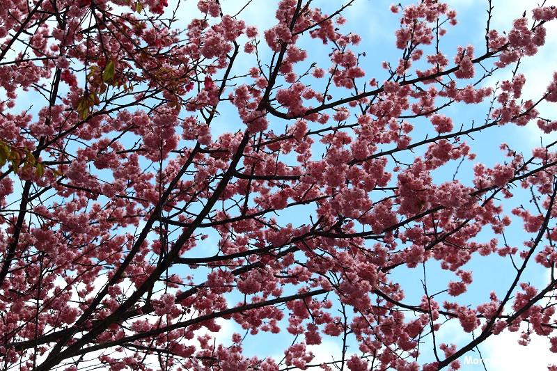 武陵農場粉紅櫻花季 (45)
