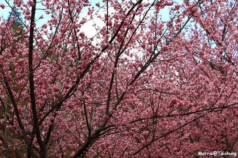 武陵農場粉紅櫻花季 (142)