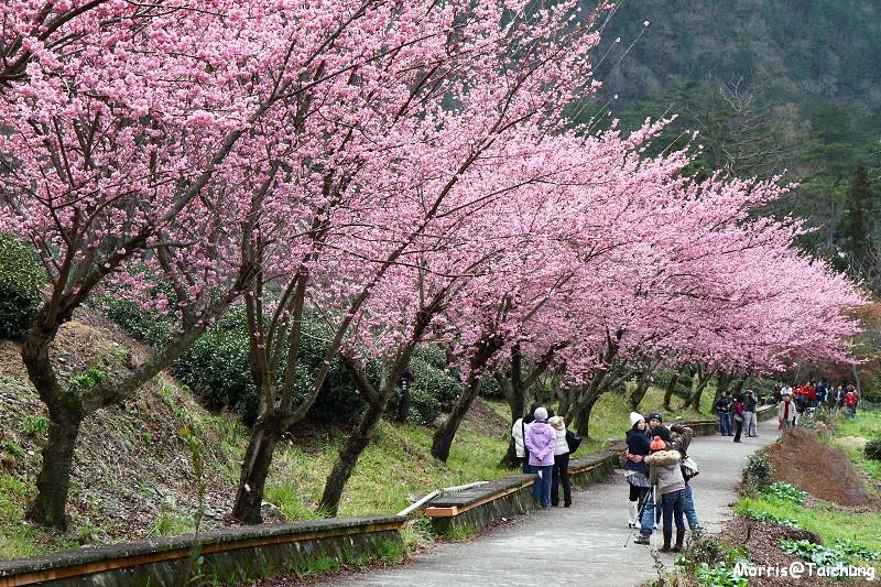 武陵農場粉紅櫻花季 (112)