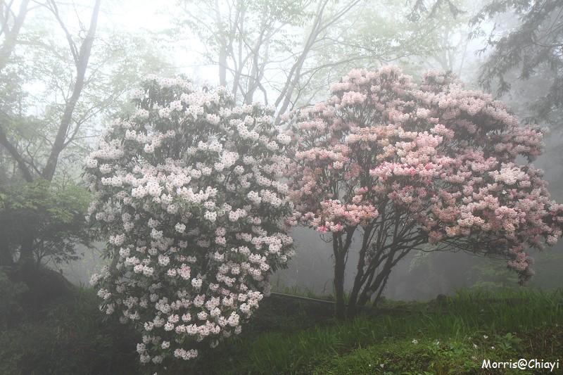 2011 阿里山櫻花季 (27)