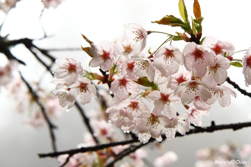 2011 阿里山櫻花季 (93)