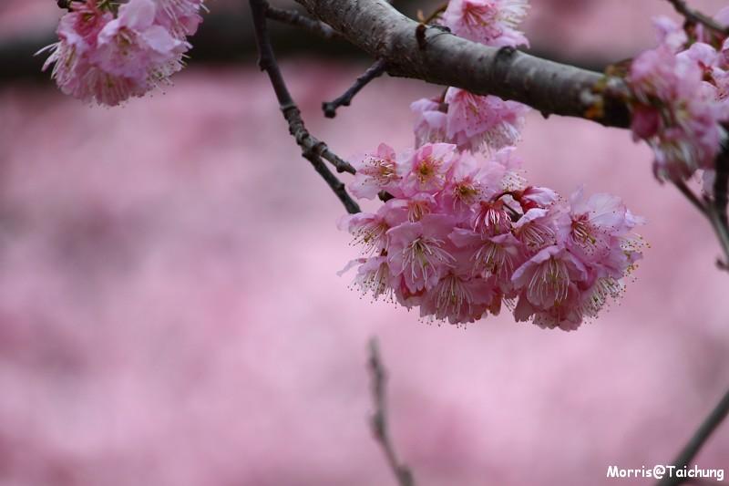 武陵農場粉紅櫻花季 (149)