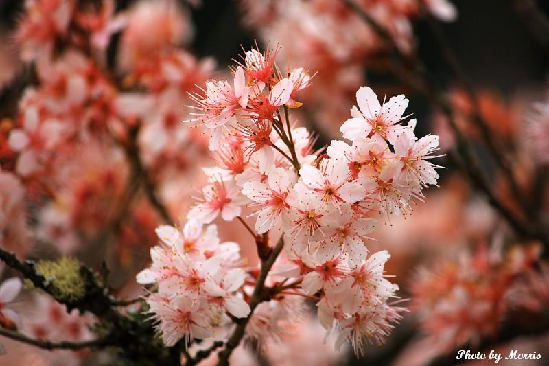 阿里山櫻花季前奏曲 (46)