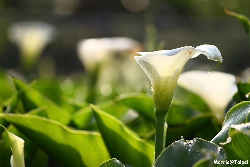 竹子湖海芋節 (30)