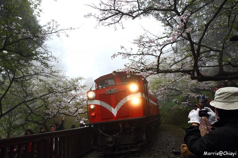 2011 阿里山櫻花季 (119)