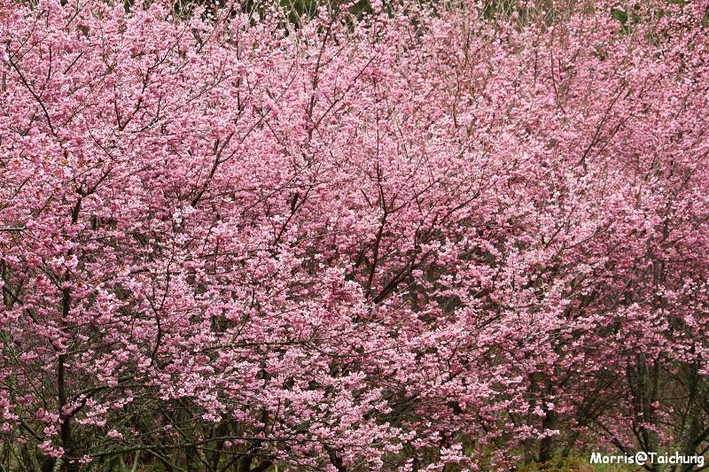 武陵農場粉紅櫻花季 (72)