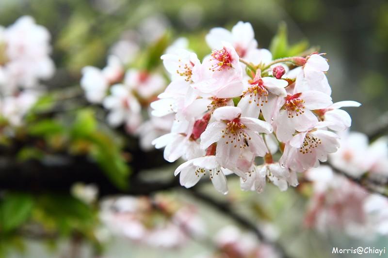 2011 阿里山櫻花季 (80)