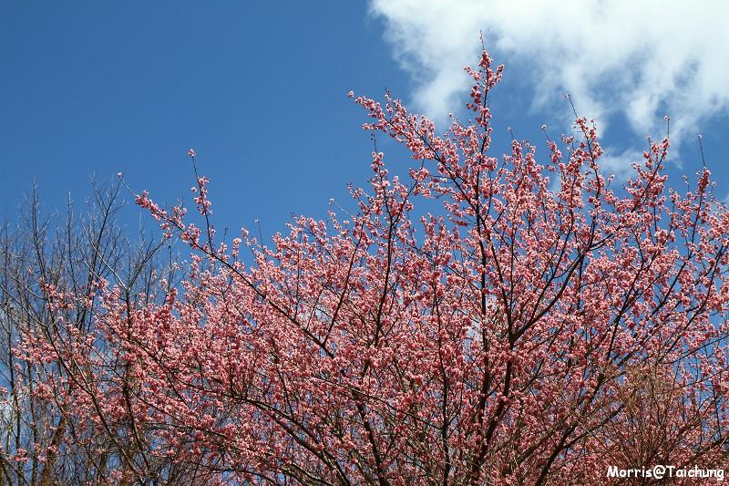 武陵農場粉紅櫻花季 (135)