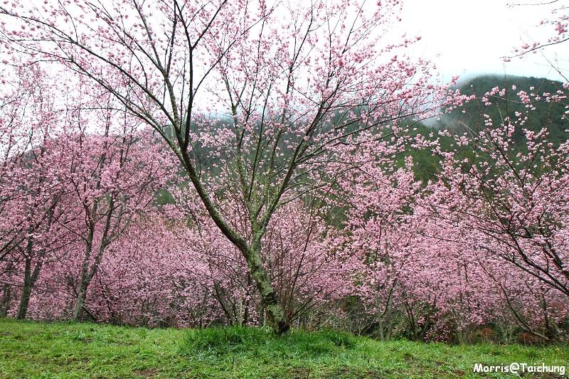 武陵農場粉紅櫻花季 (27)
