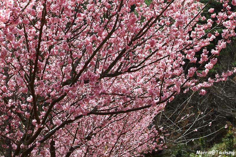 武陵農場粉紅櫻花季 (147)
