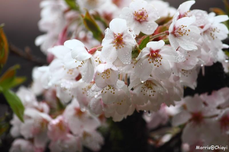 2011 阿里山櫻花季 (109)