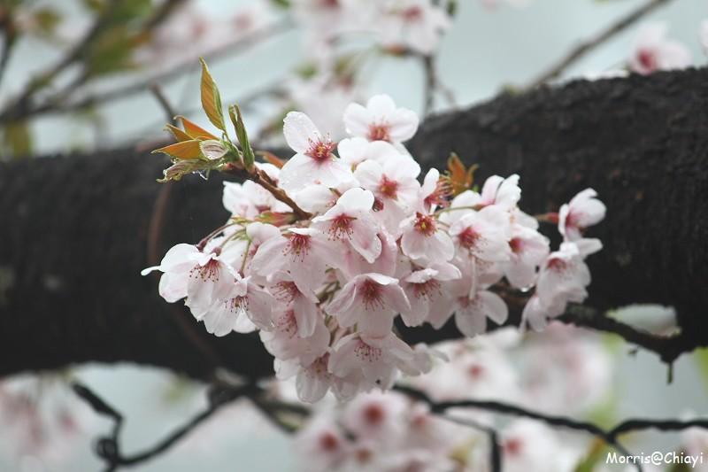 2011 阿里山櫻花季 (136)