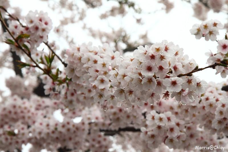 2011 阿里山櫻花季 (17)
