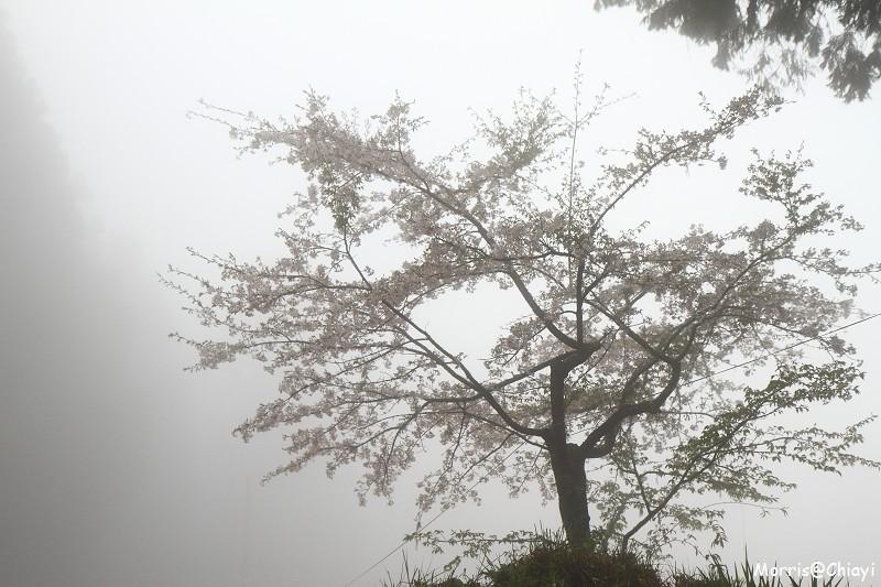 2011 阿里山櫻花季 (73)