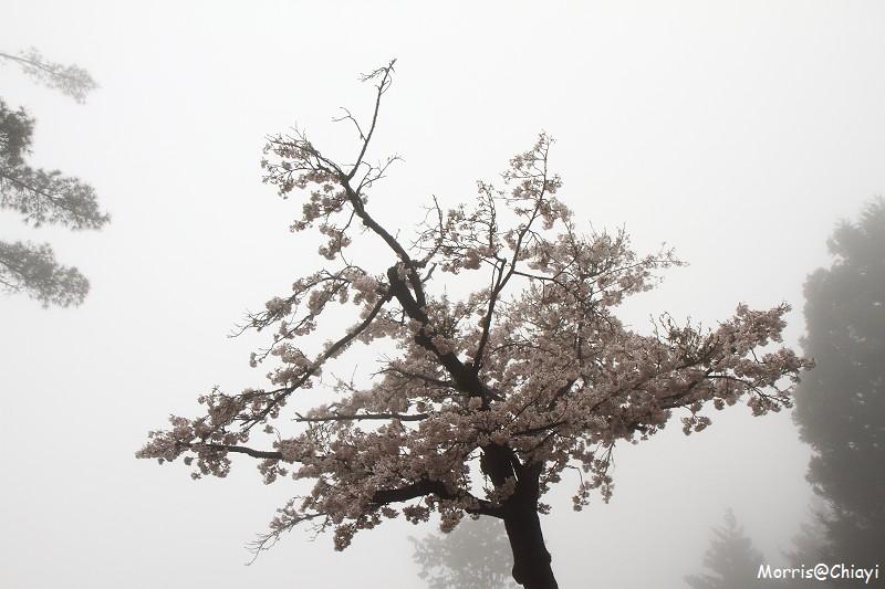2011 阿里山櫻花季 (13)