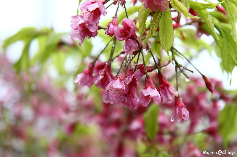 2011 阿里山櫻花季 (22)