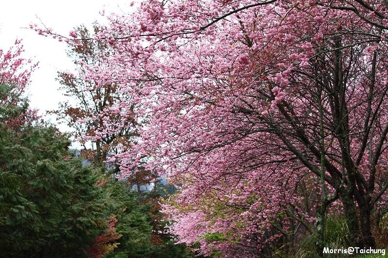 武陵農場粉紅櫻花季 (44)