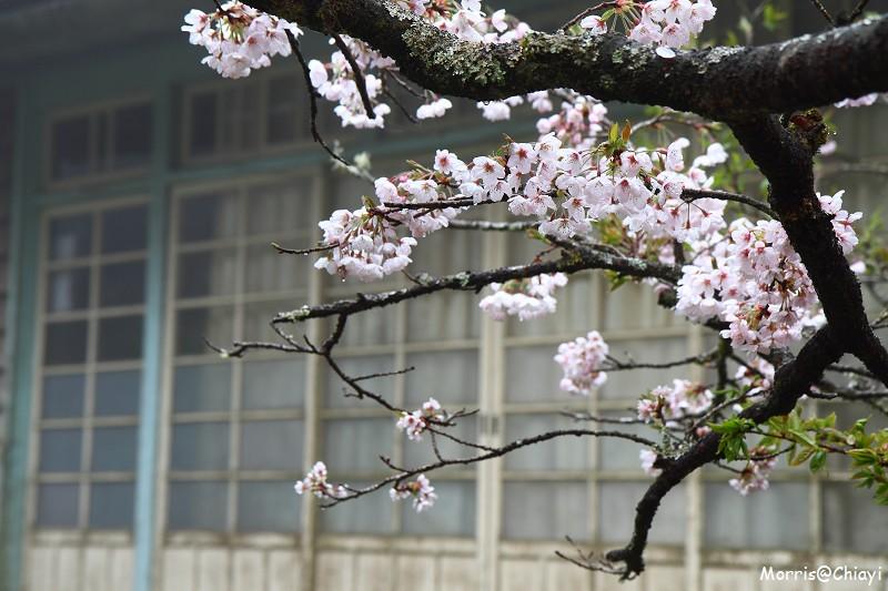 2011 阿里山櫻花季 (84)