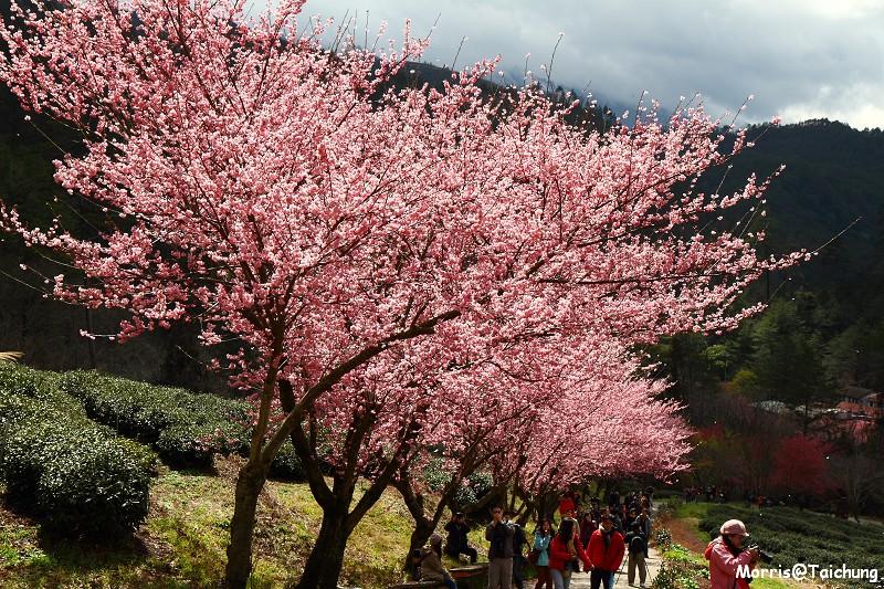 武陵農場粉紅櫻花季 (124)