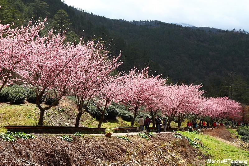 武陵農場粉紅櫻花季 (120)
