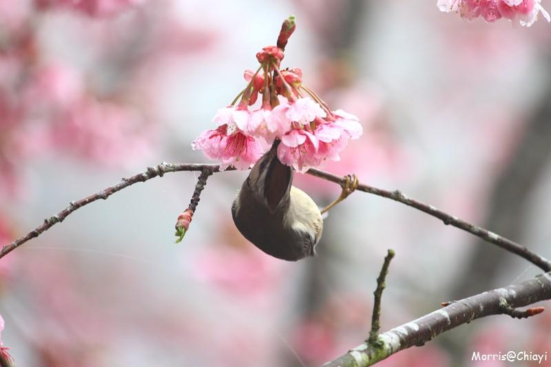 2011 阿里山櫻花季 (140)