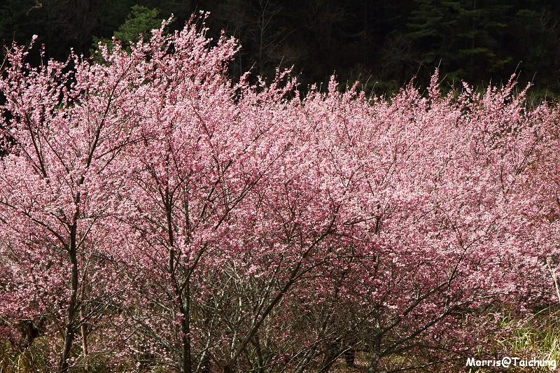 武陵農場粉紅櫻花季 (134)