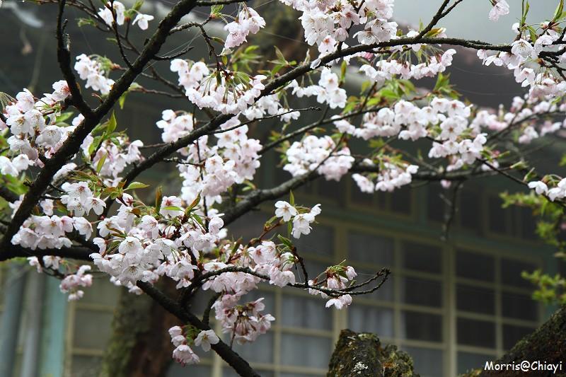 2011 阿里山櫻花季 (87)
