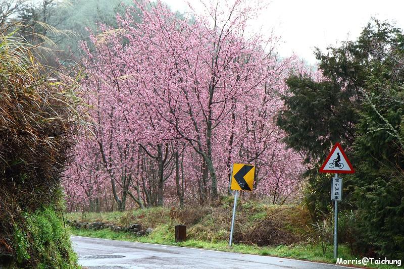 武陵農場粉紅櫻花季 (35)